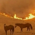 Two horses stand in a burning field - Sonoma, CA